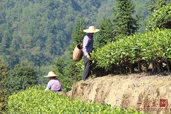 中国茶叶质量安全难获国际市场认可