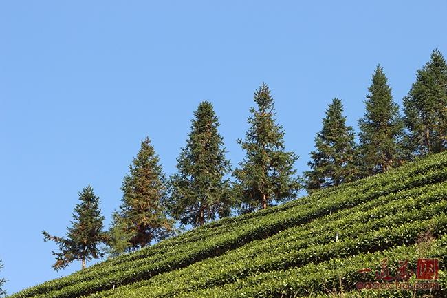 大力发展有机茶园、生态茶园